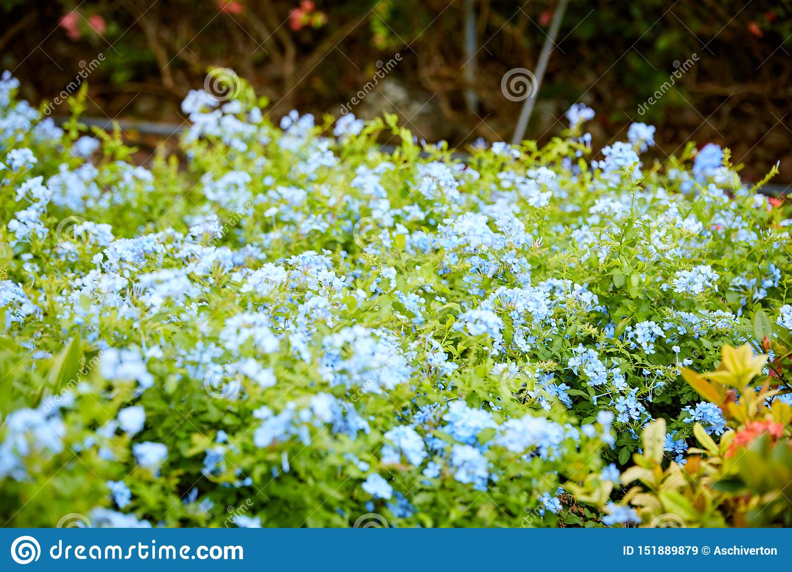 Blå blyerts blom- Bush i tropisk trädgård