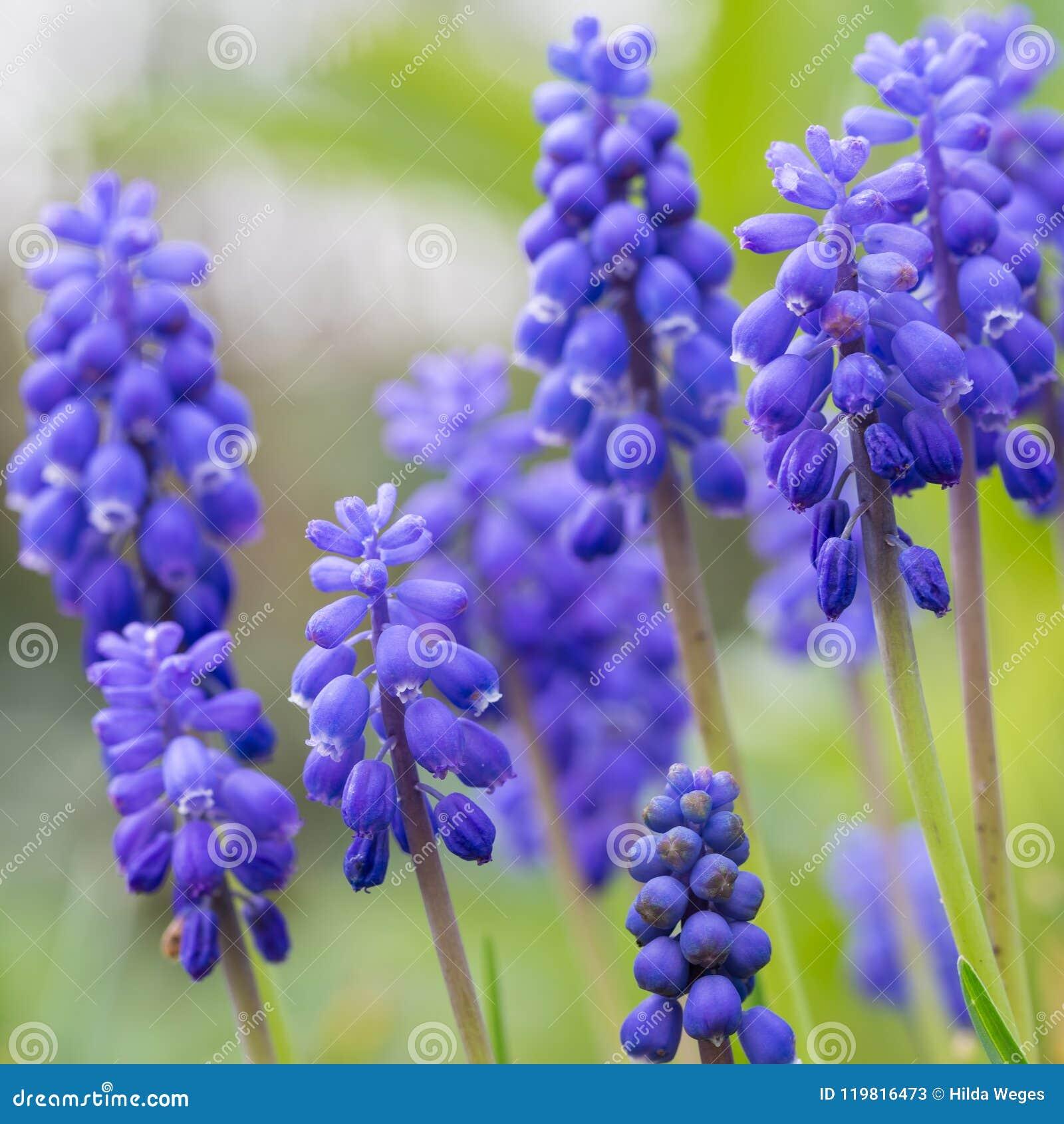 Blå druvahyacint