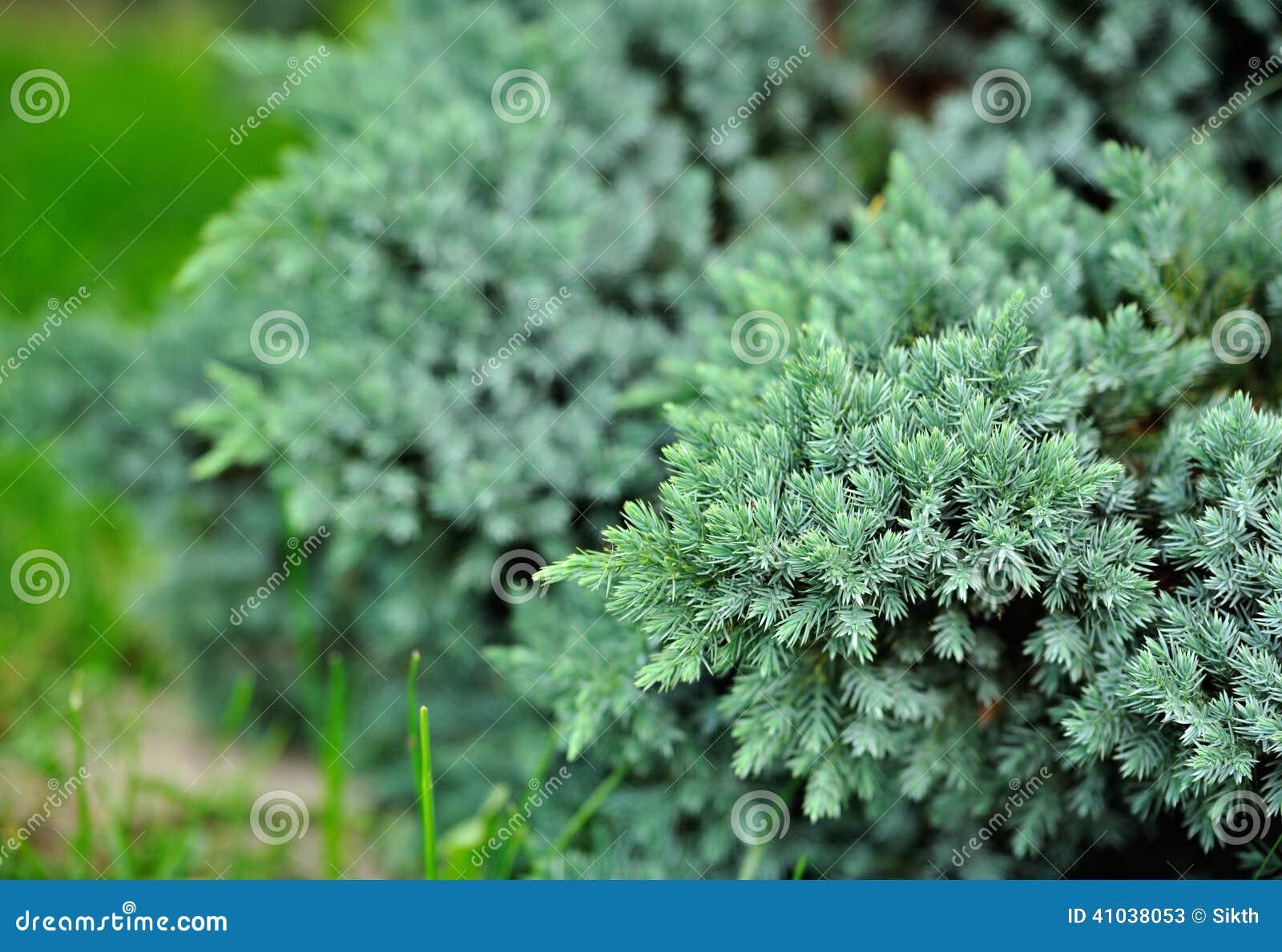 Blå en Bush för evergreen