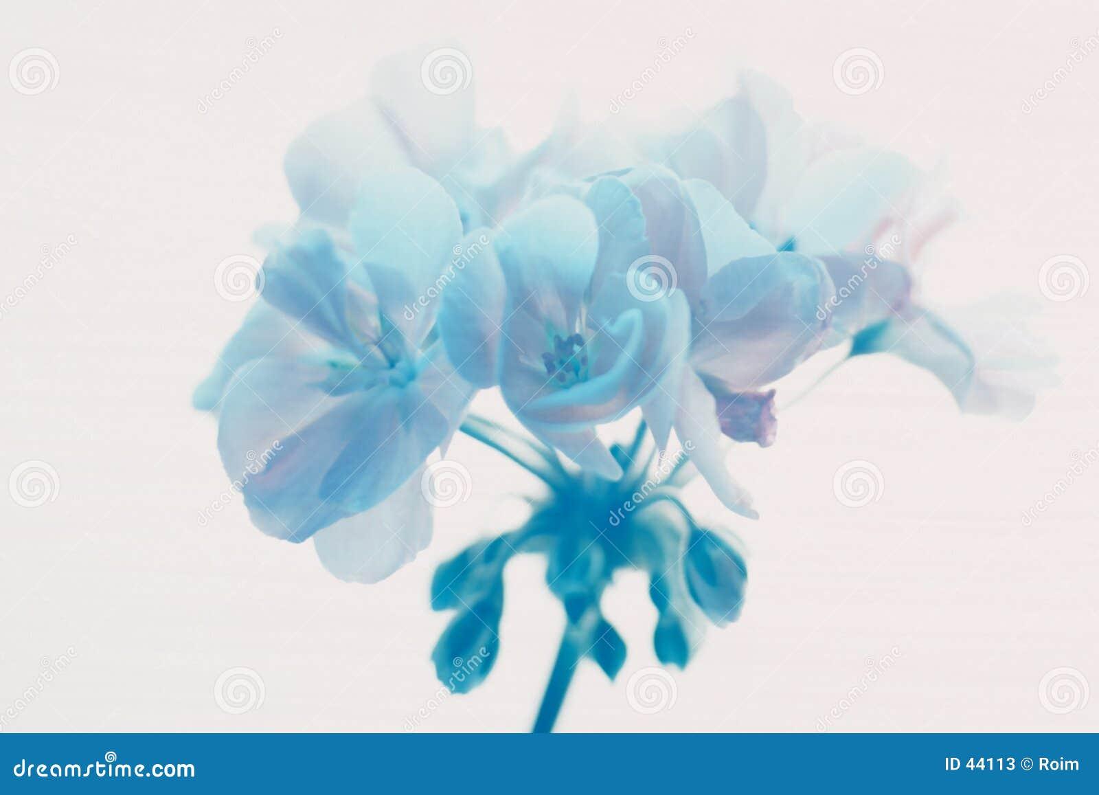 Blå geraniium
