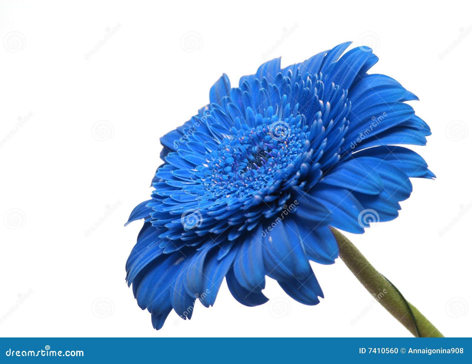 Blå gerbera