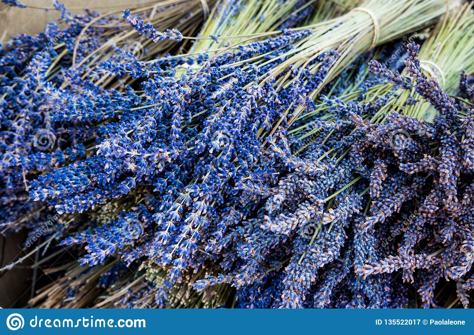 Blå grupp av lavendel Lavandula Aromatiska och parfymerade Autumn Flower för många avsikter