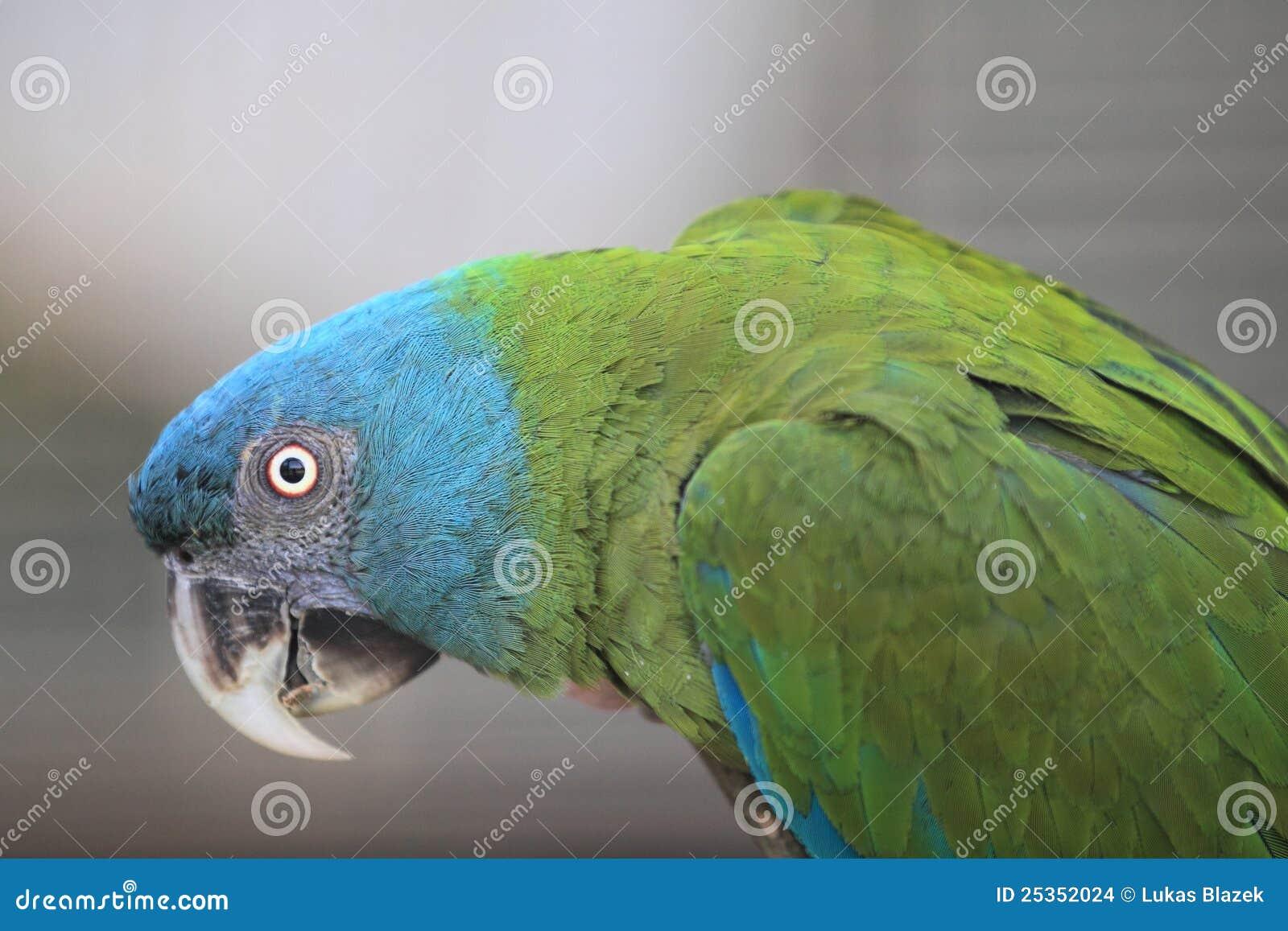 Blå hövdad macaw