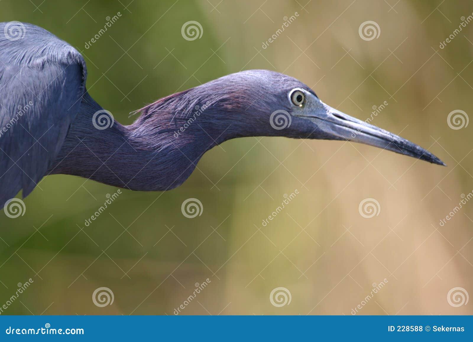 Blå heron little som vrider