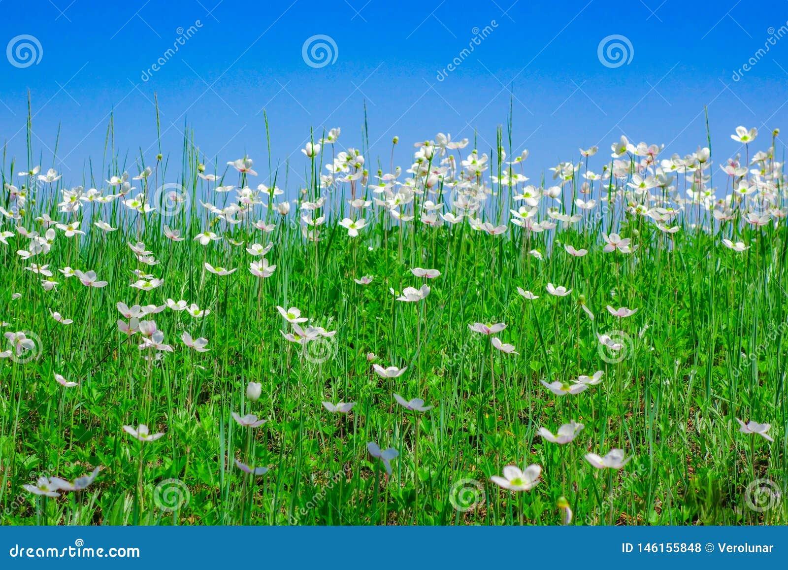 Blå himmel över ett fält av vita blommor