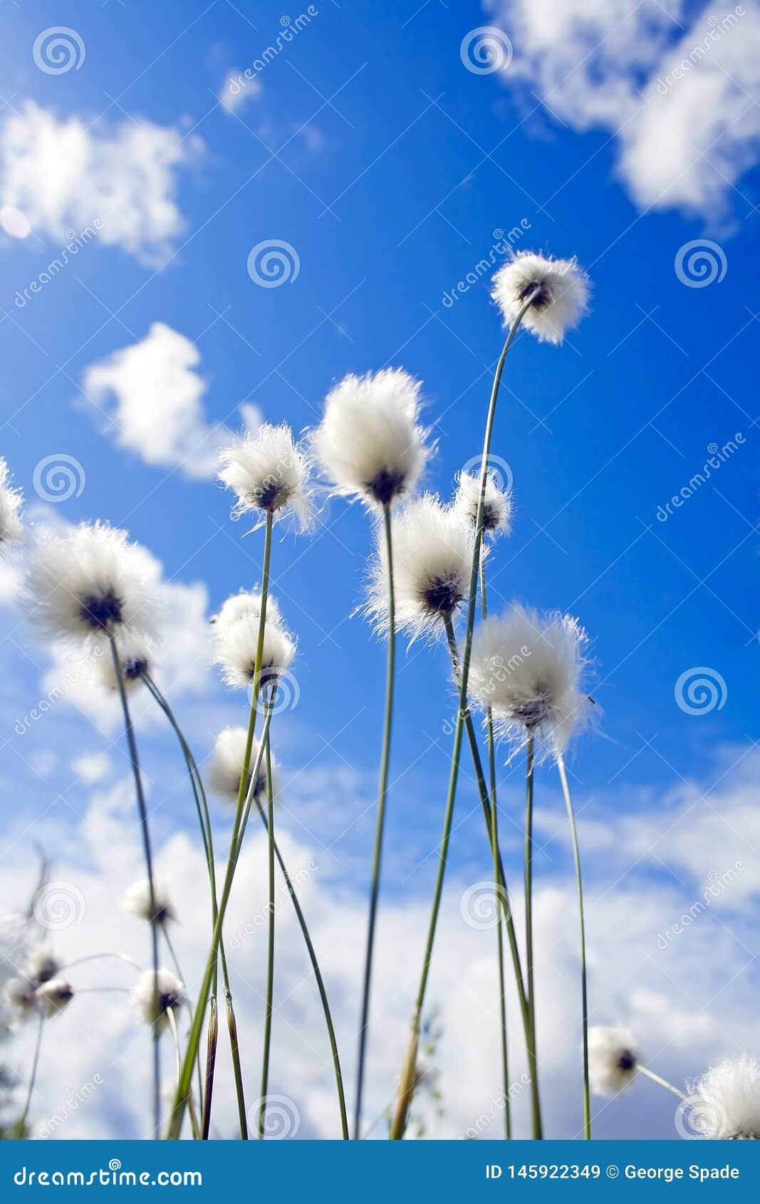 Blå himmel för sommarväxtund