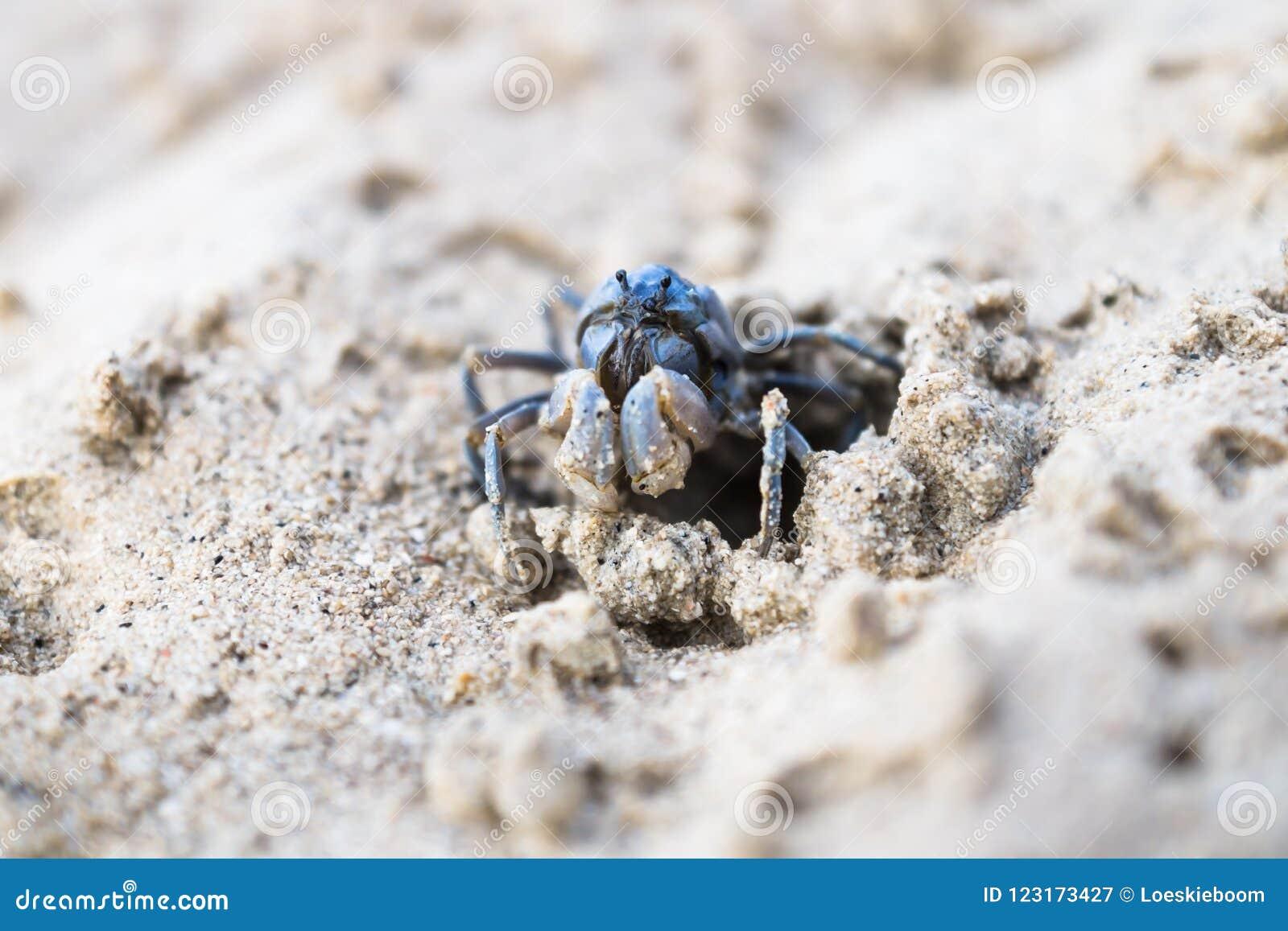 Blå krabba på ett hål i mitt på den vita stranden av Siquijor, Filippinerna, Asien