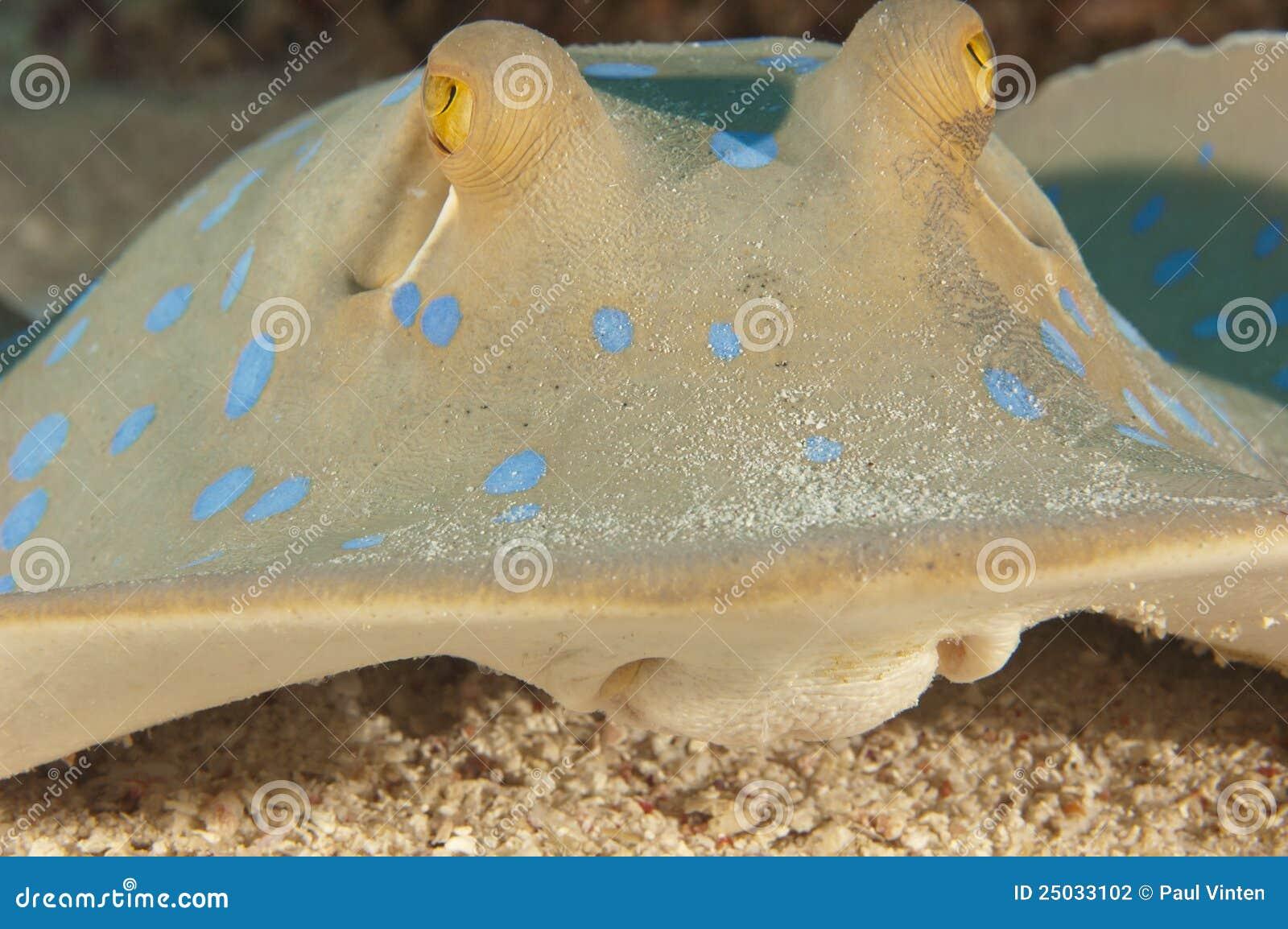 Blå matande prickig lagunstråle