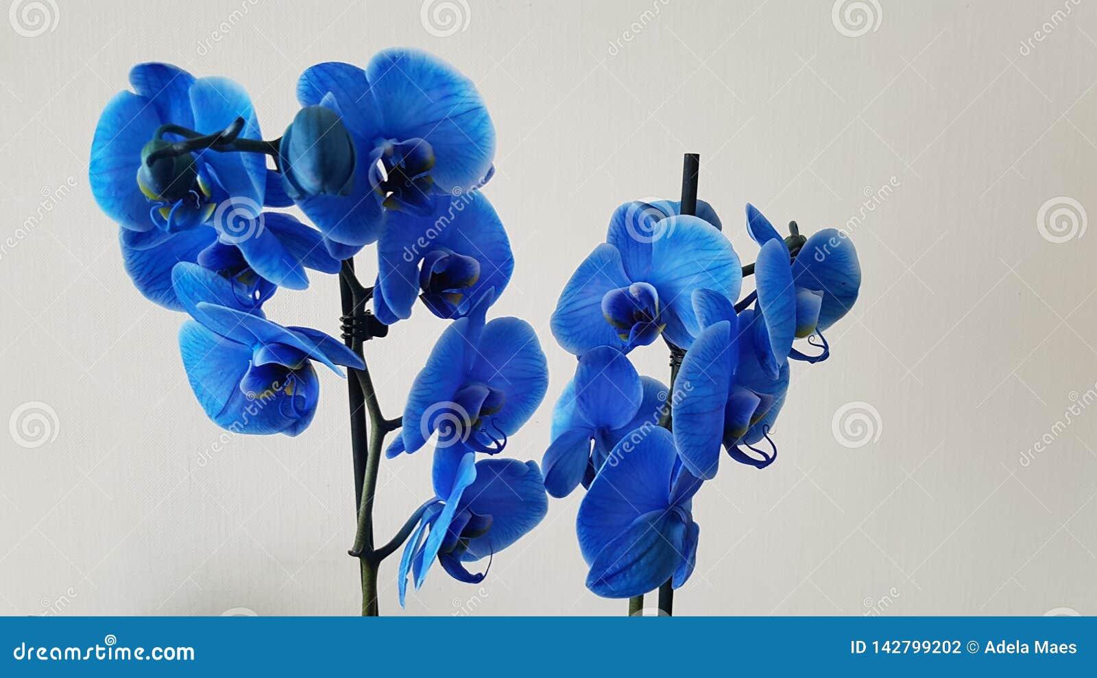 Blå orchid