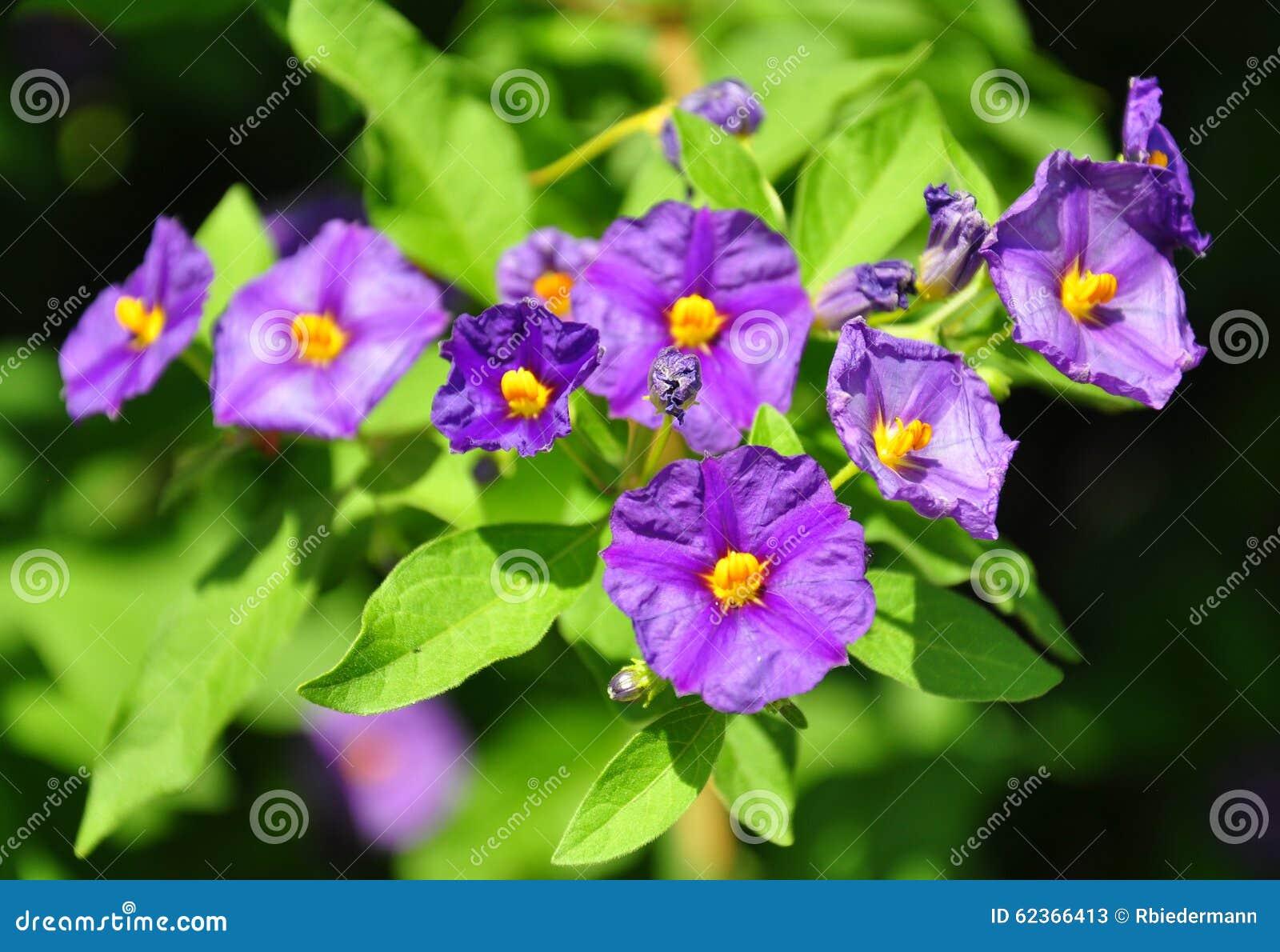 Blå potatisbuske (den Lycianthes rantonnetiien)