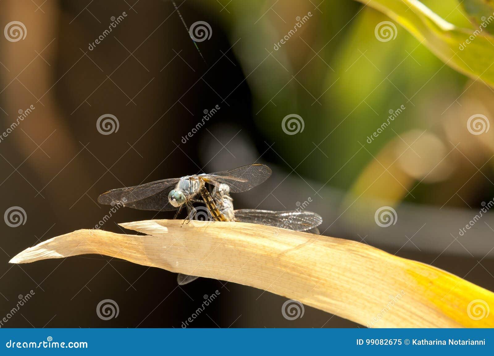 Blå skumslev slända för man som och för Dasher för kvinnlig parar ihop på ett blad