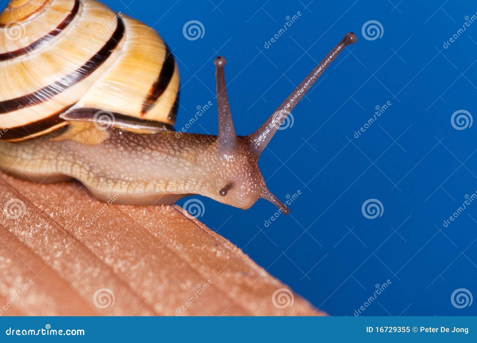 Blå snail