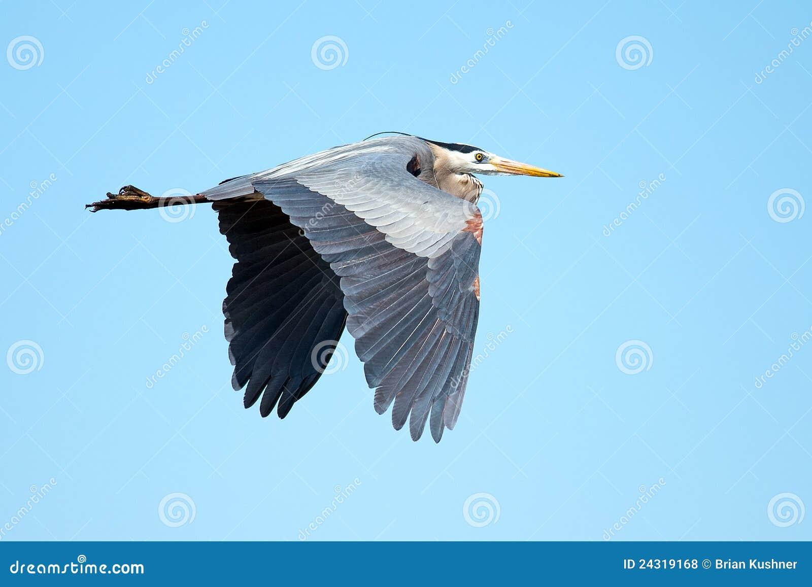 Blå stor heron