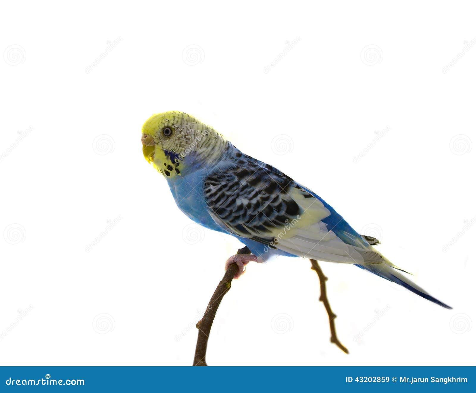 Download Blå undulatfågel fotografering för bildbyråer. Bild av älskling - 43202859