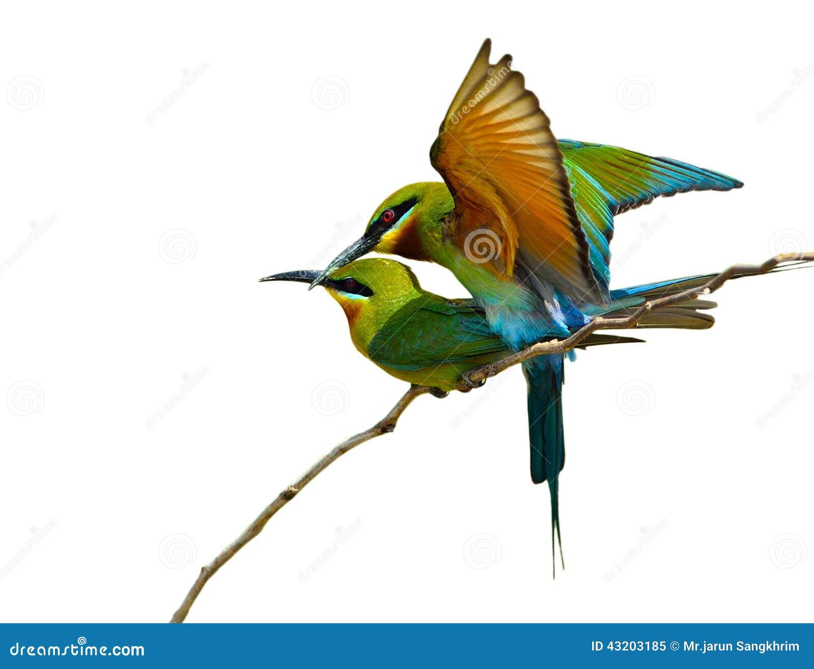 Download Blå undulatfågel fotografering för bildbyråer. Bild av angus - 43203185
