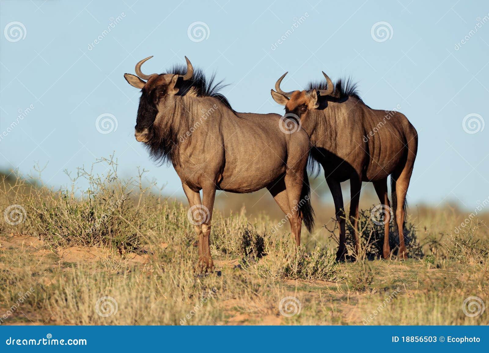 Blå wildebeest