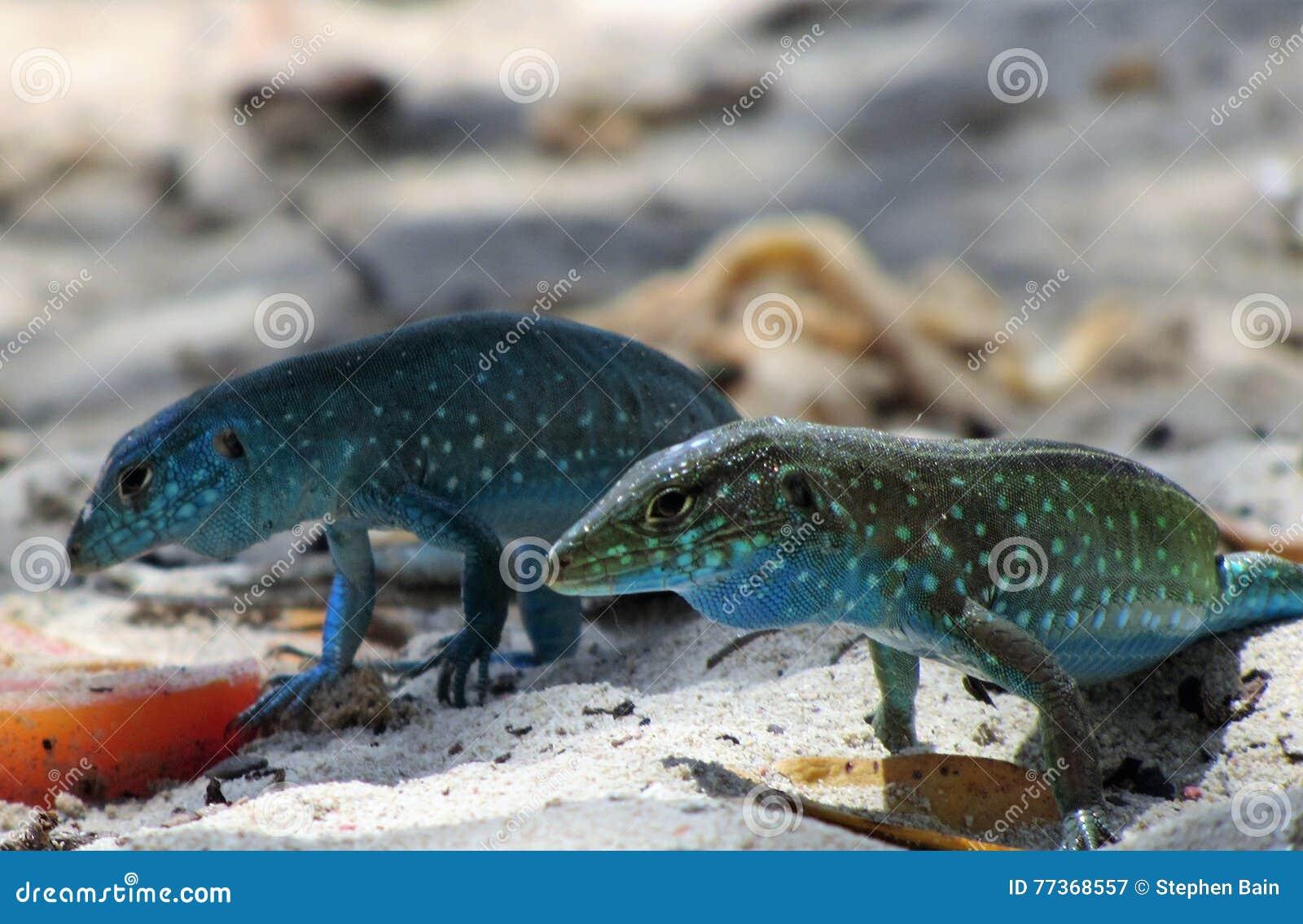 Blåa ödlor på stranden