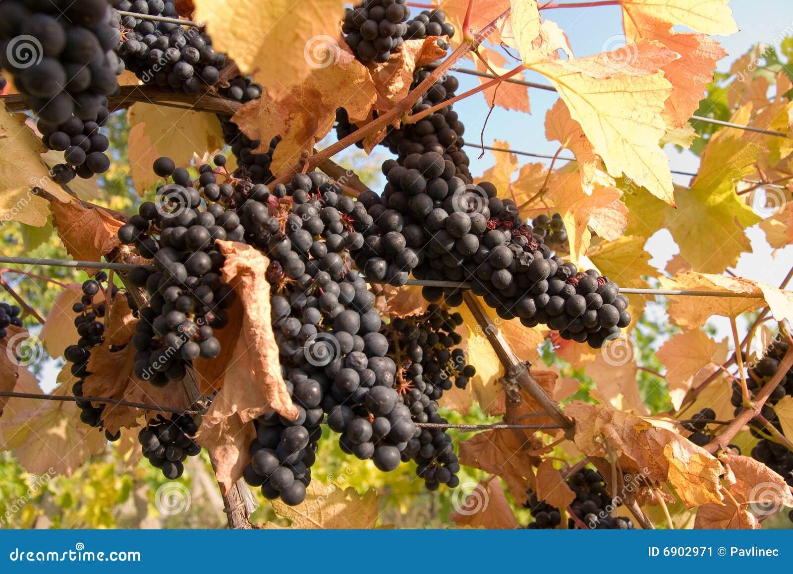 Blåa druvor