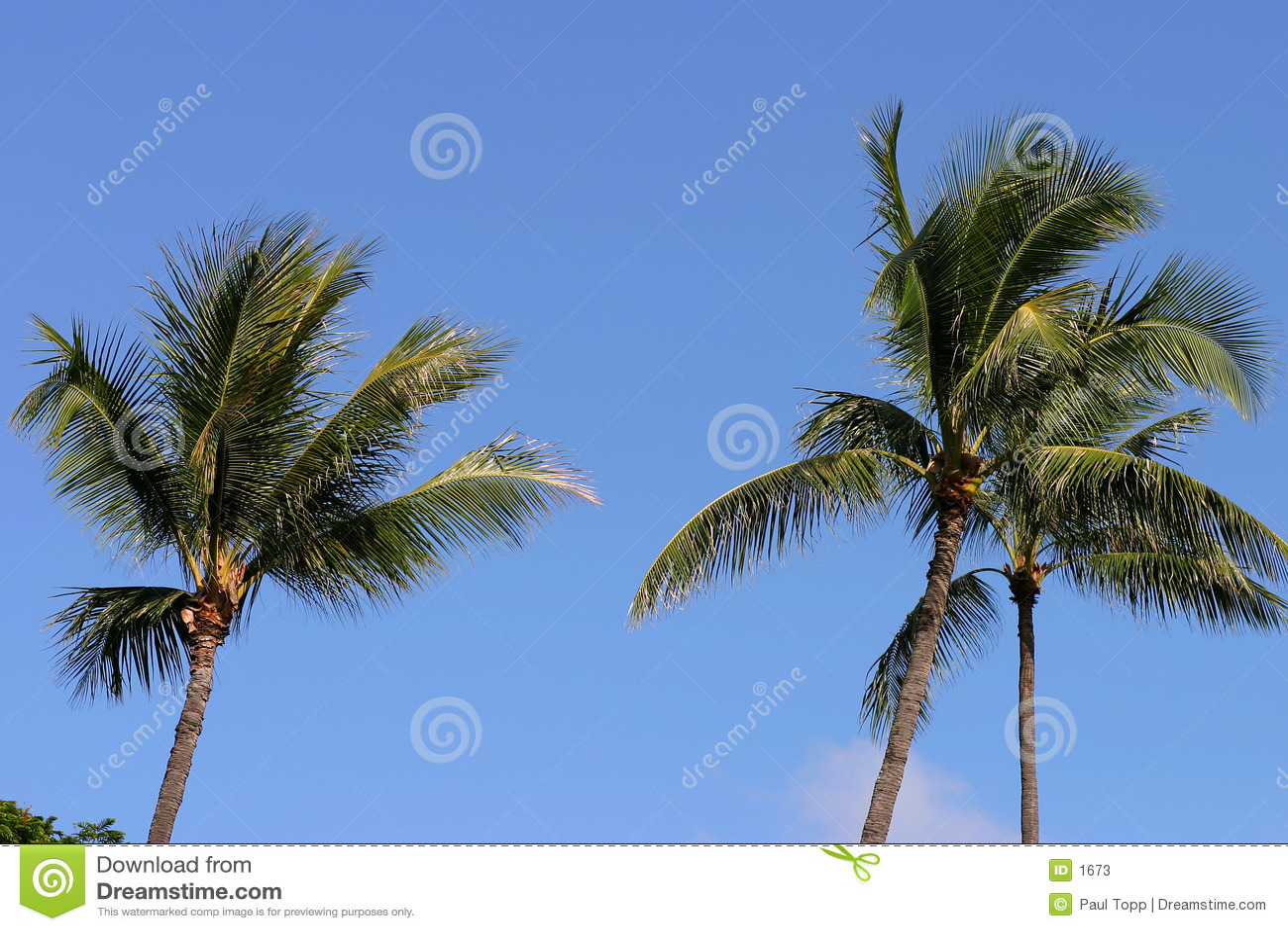 Blåa hawaii gömma i handflatan skytrees