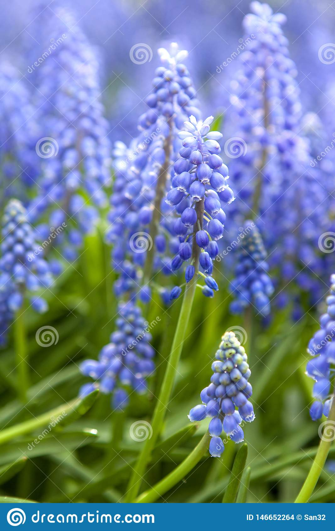 Blåa hyacintblommor i closeup