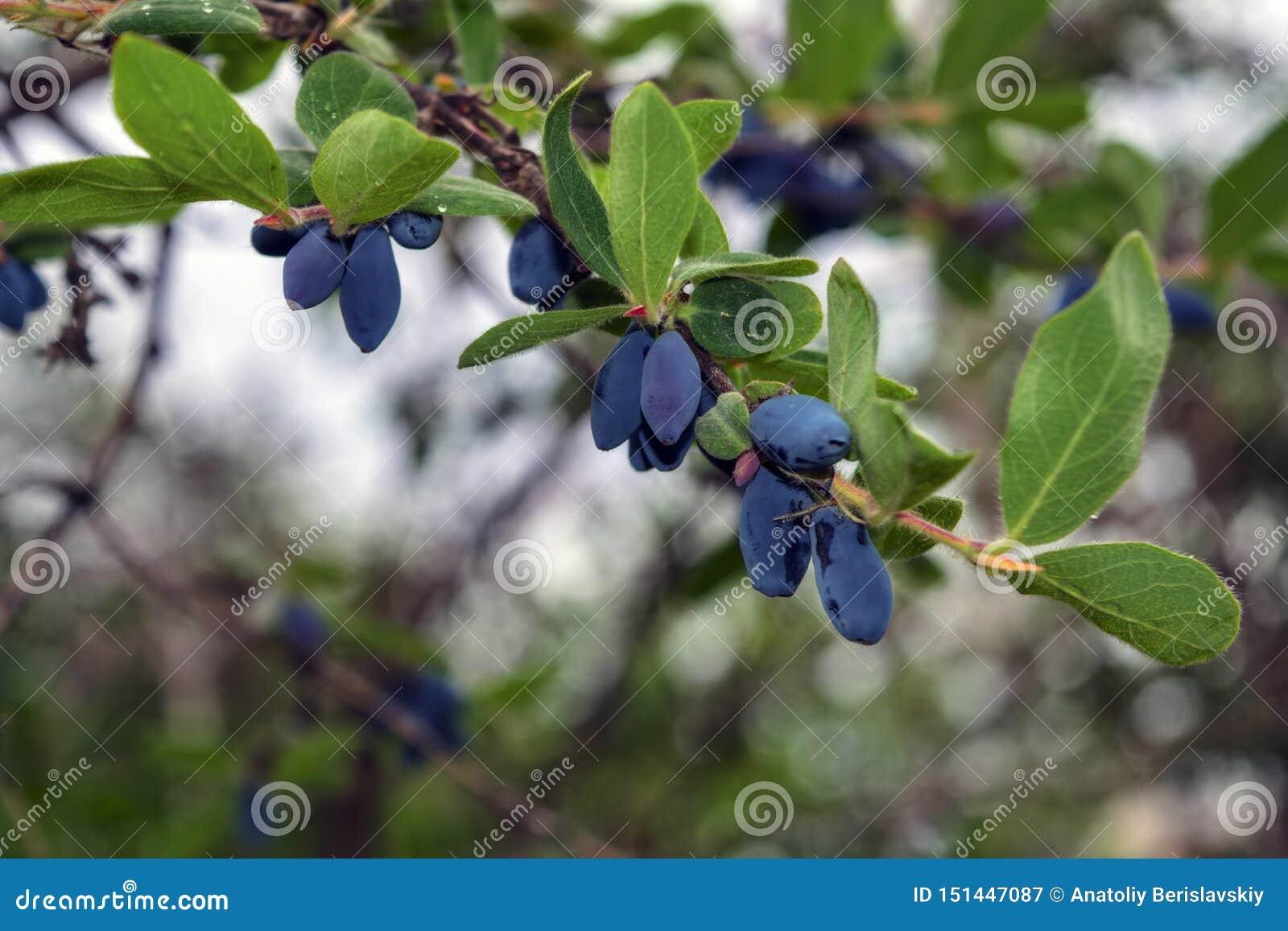 Blåa mogna bär av kaprifolen på filialen med sidor av en buske Edulis Lonicera
