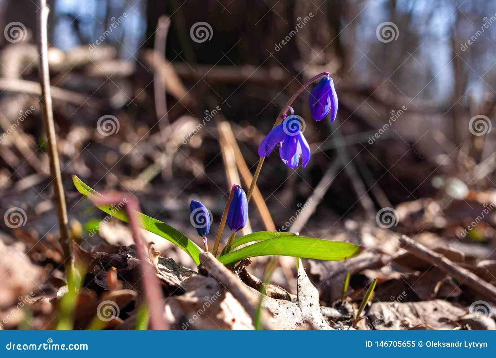 Blåa snödroppar för första vårblommor