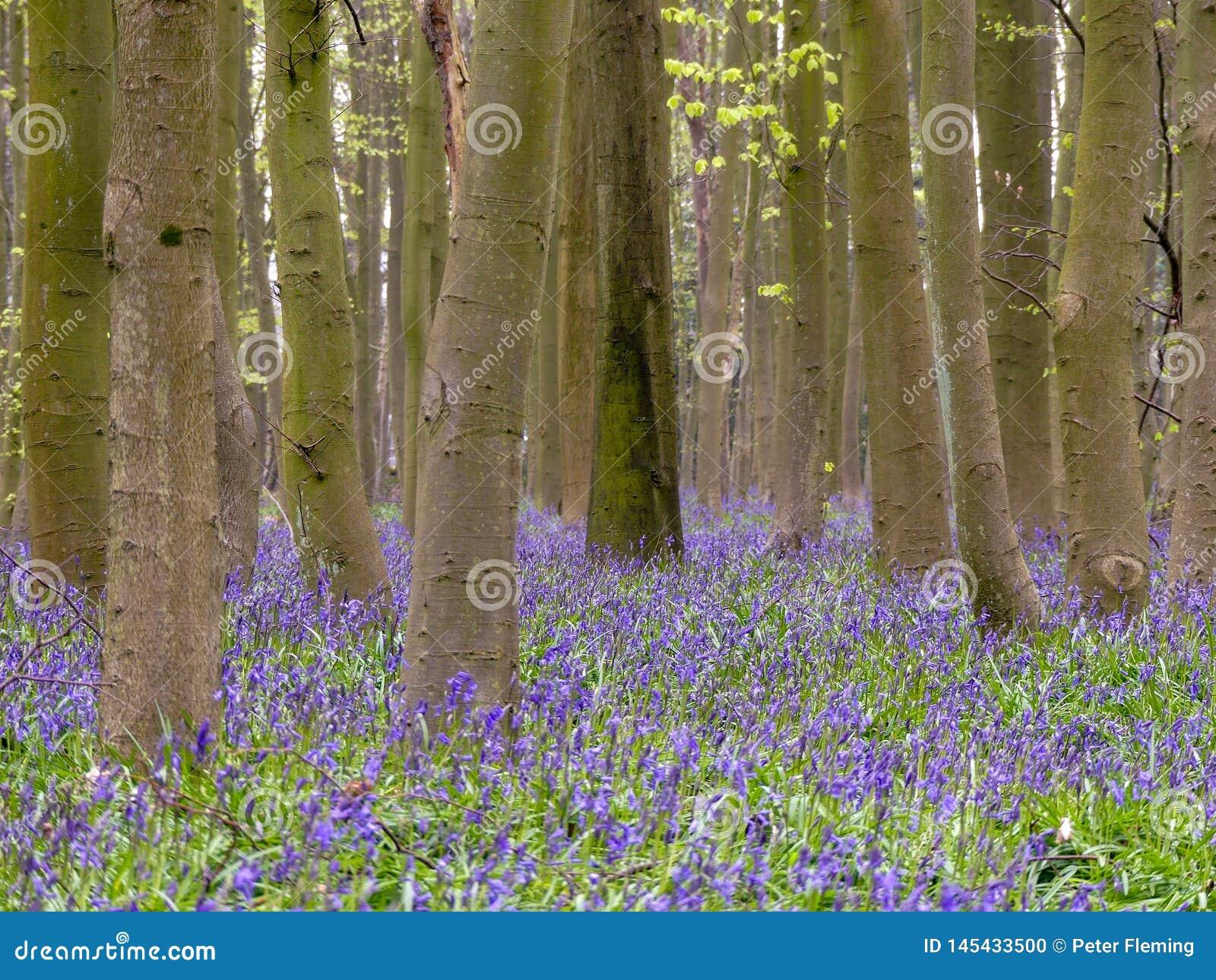 Blåklockor i Philipshill trä, Chorleywood