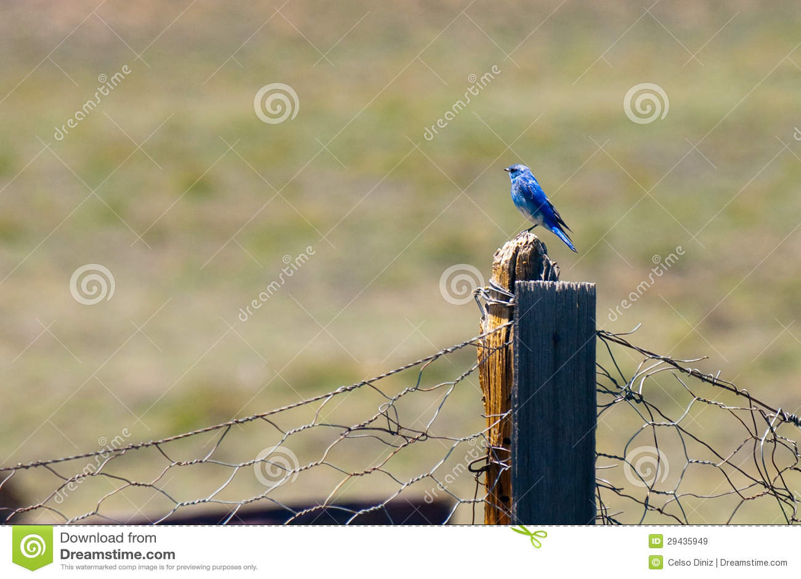Blåsångaren som perching på trä, postar