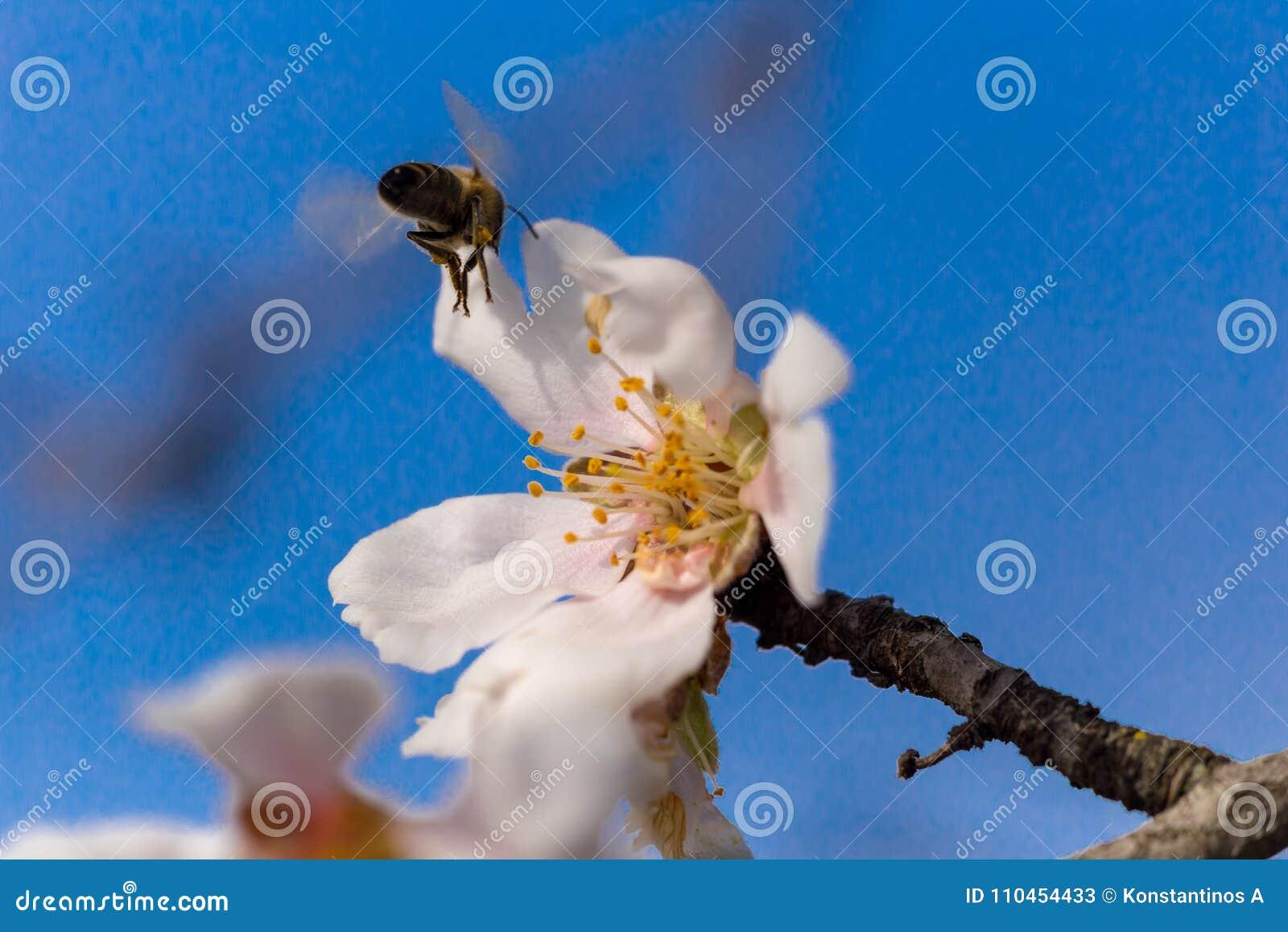 Blått för bakgrund för vår för makro för blommor för mandelträd