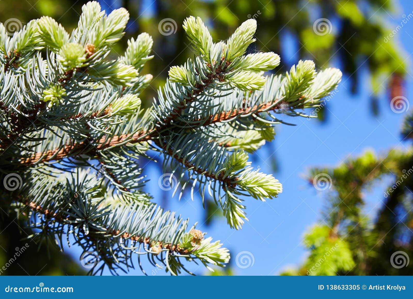 Blått och gräsplan sörja prydliga filialer med visare