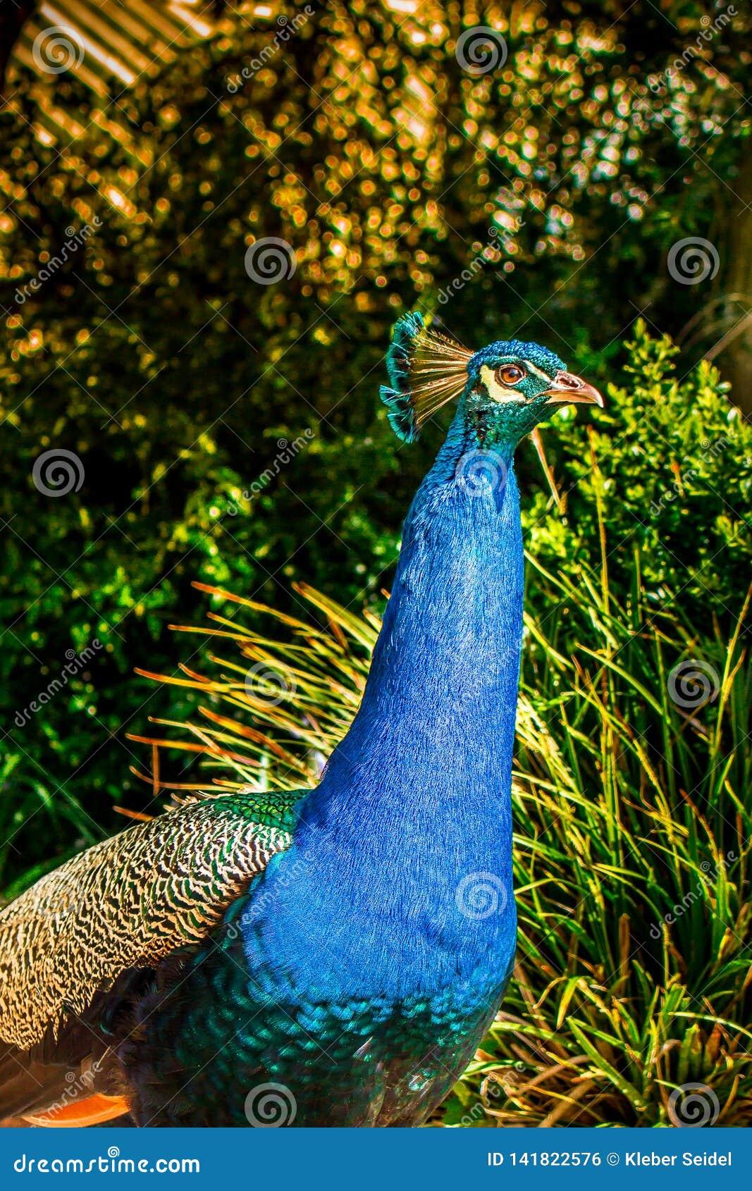 Blått påfågelslut upp Färgrikt djur