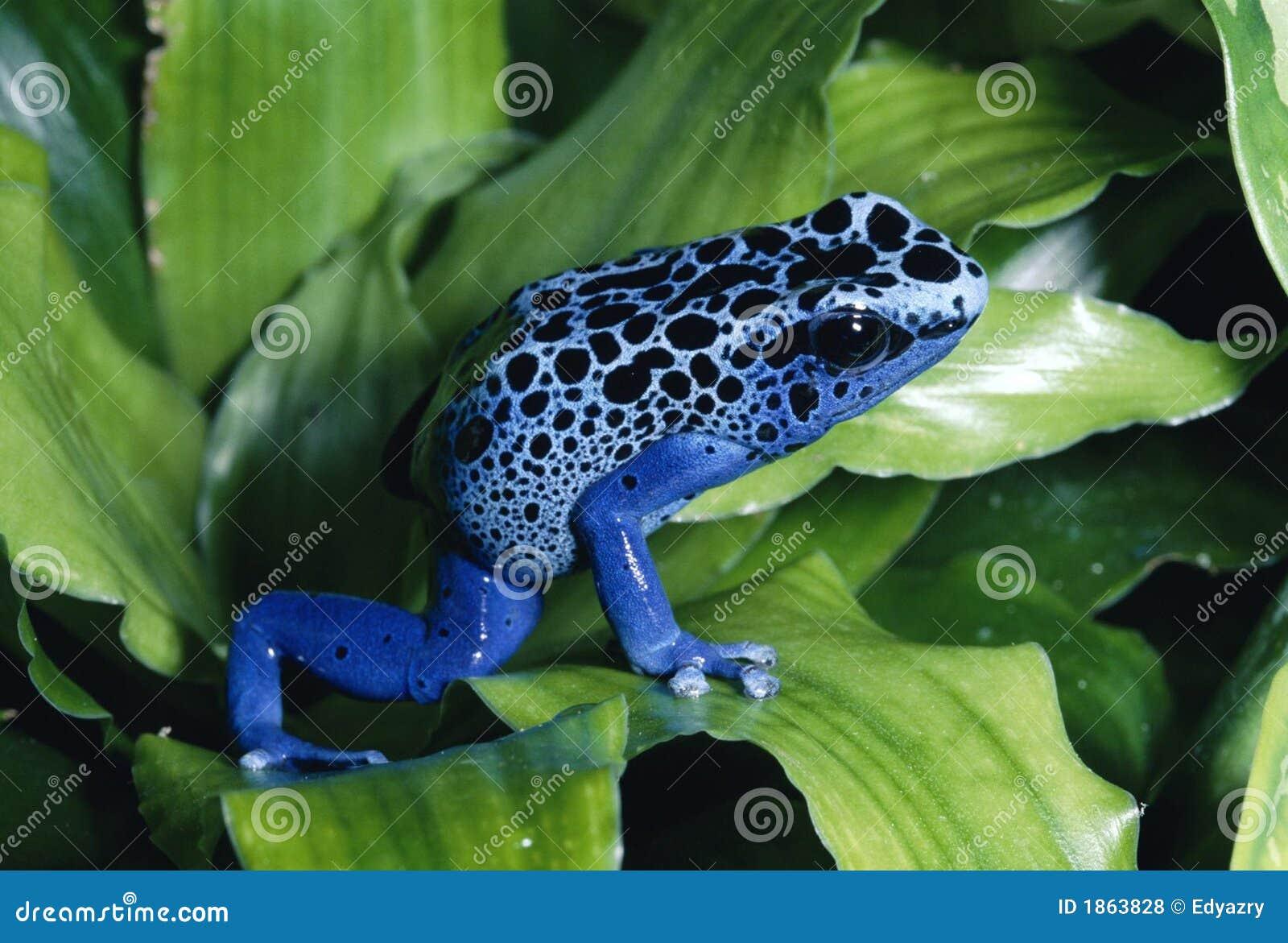 Blått pilgrodagift