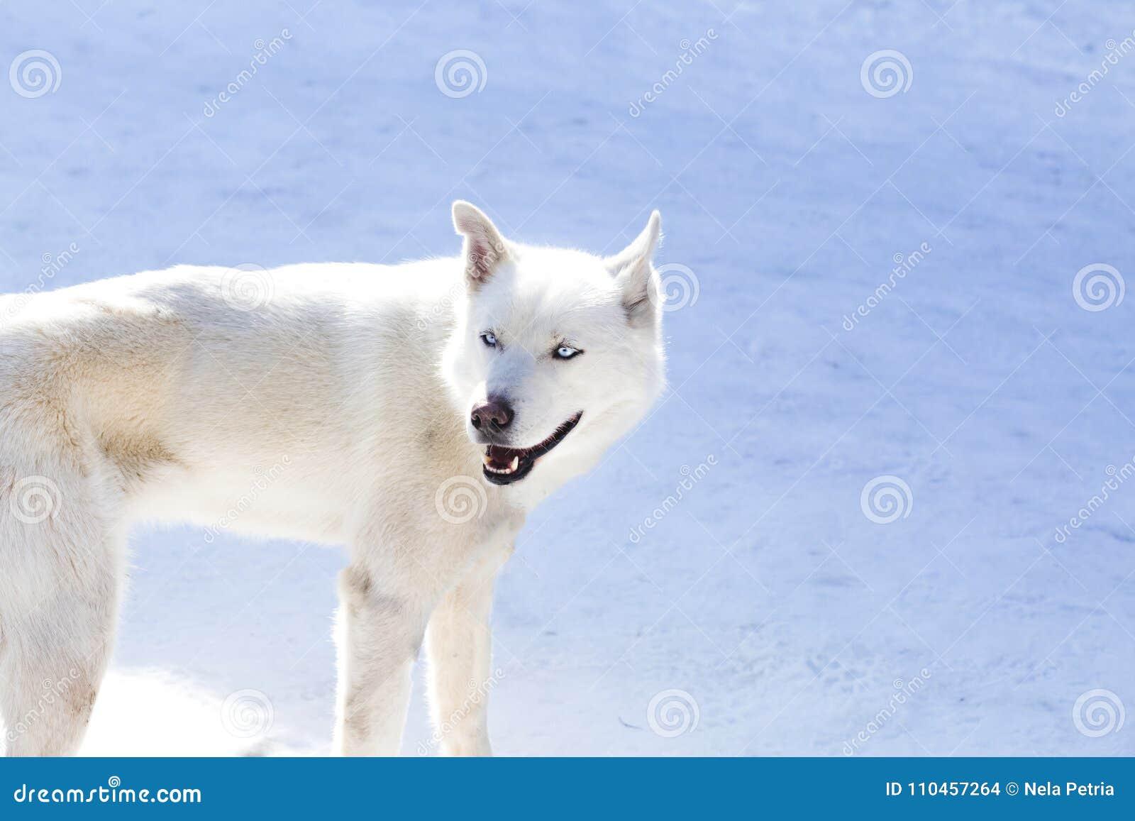 Blått skrovlig synad vit
