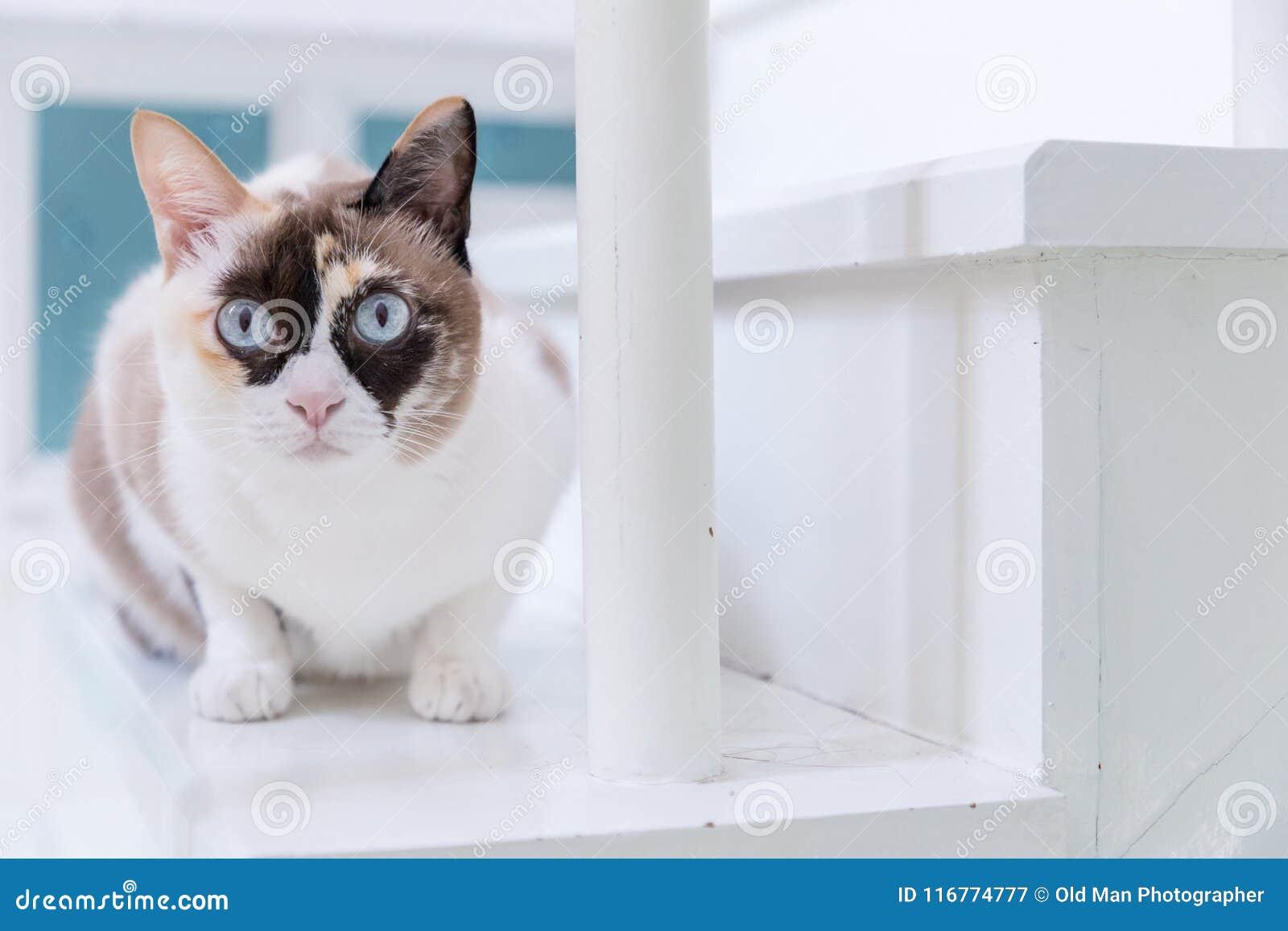 Blått synade den thailändska katten som ligger på den vita trappuppgången