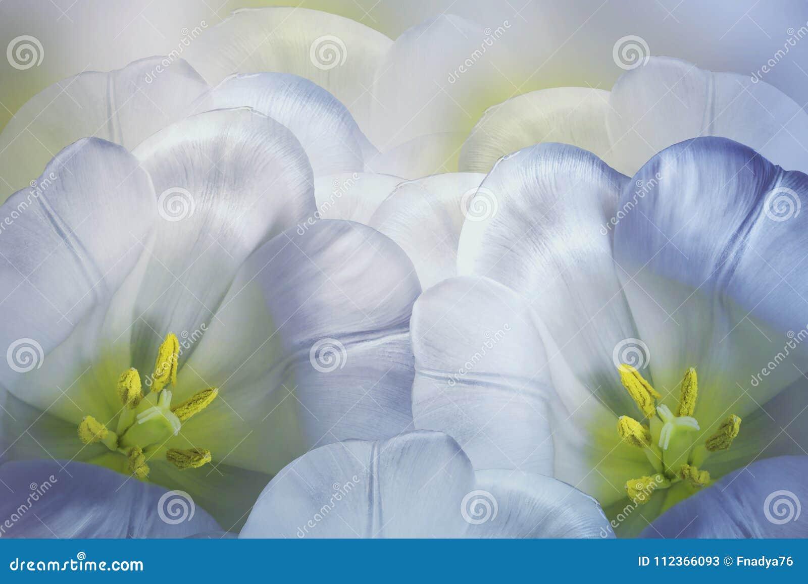 Blåvit bakgrund för blom- vår Rosa tulpanblomning för blommor Närbild greeting lyckligt nytt år för 2007 kort