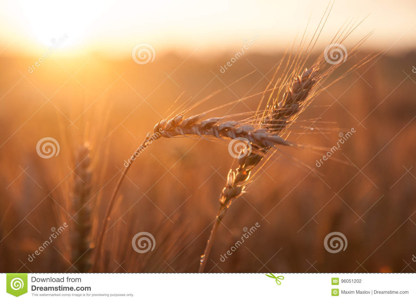 Blé de maturation de champ au coucher du soleil Le concept d une récolte riche
