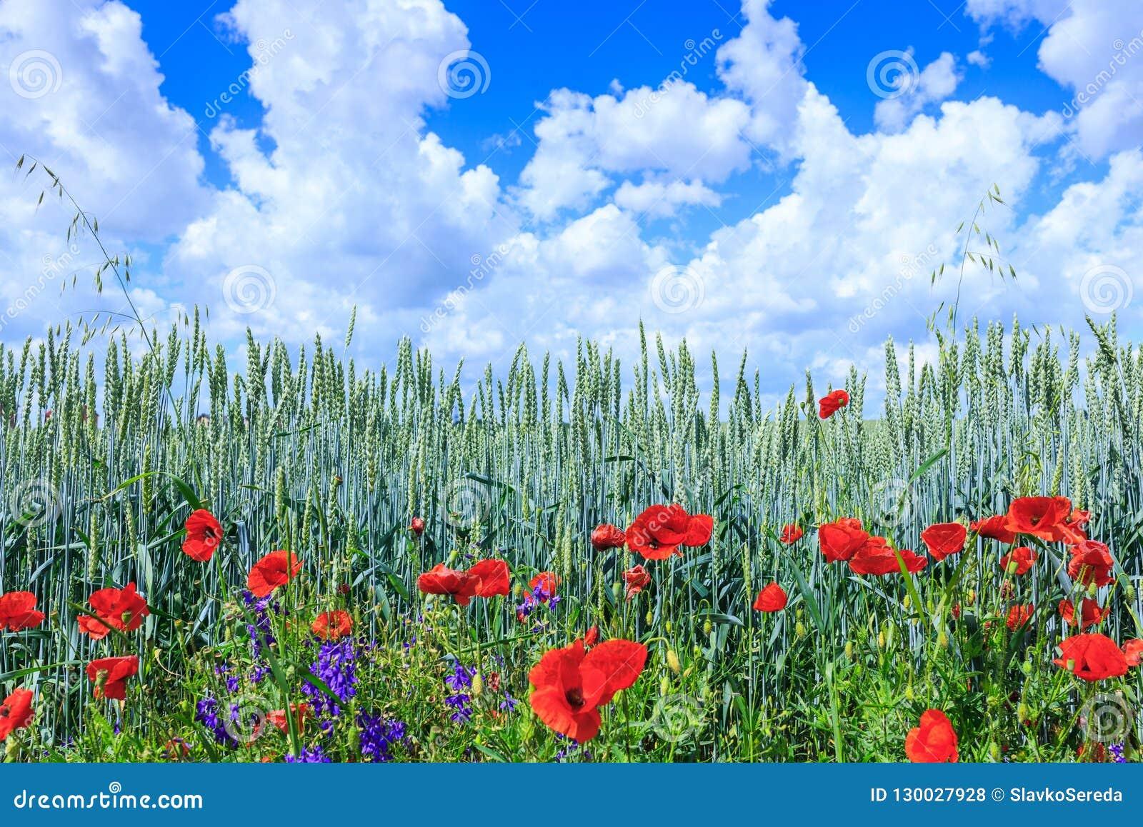 Blé vert dans le domaine Ciel bleu avec des cumulus Le su magique