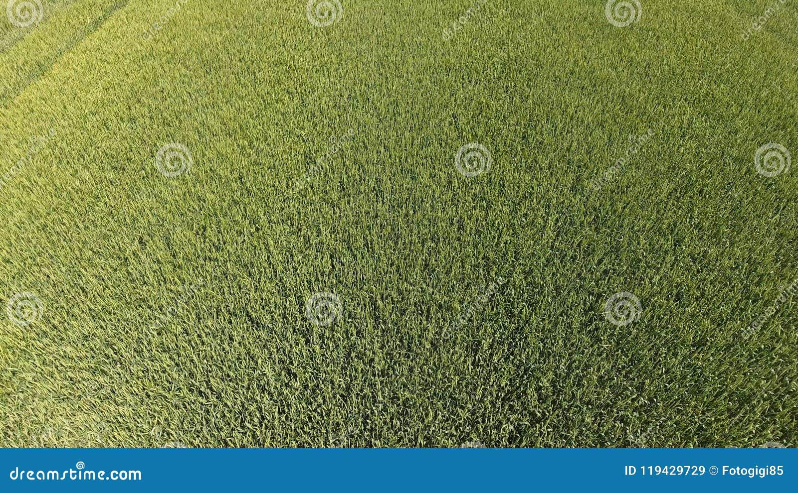 Blé vert dans le domaine, vue supérieure avec un bourdon Texture de fond de vert de blé