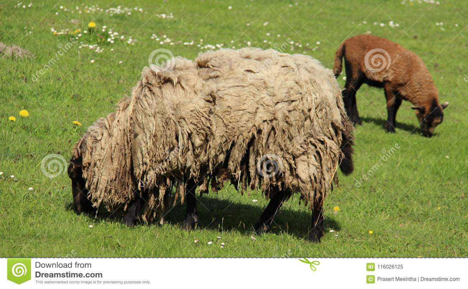 Blöken-Lampe und Mutter-Schafe Graze With Happiness