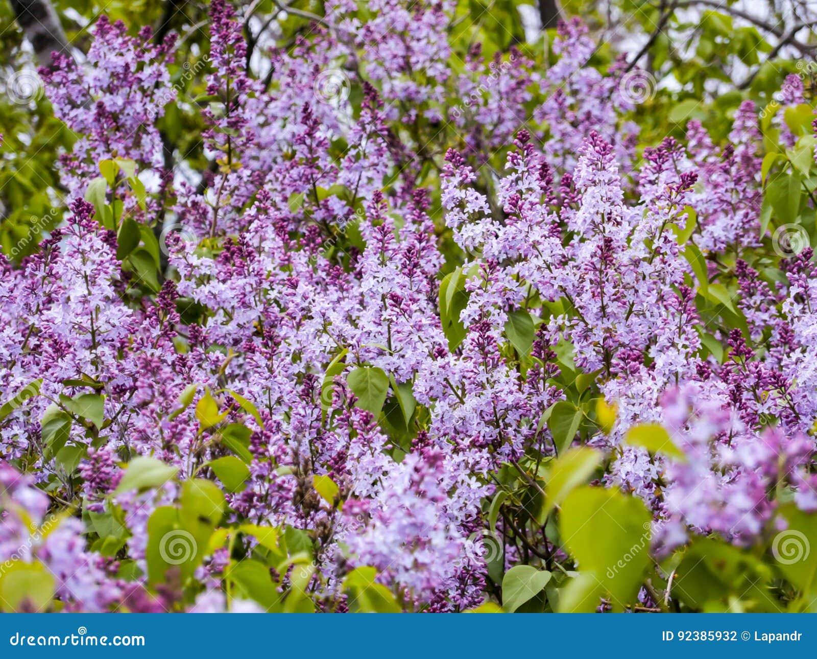 Attraktiv Blumen Mai Dekoration Von Pattern Blühen Der Flieder Im Garten Purpurrote