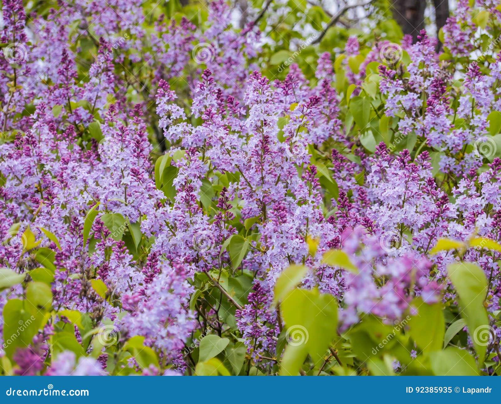 Beeindruckend Blumen Mai Foto Von Pattern Blühen Der Flieder Im Garten Purpurrote