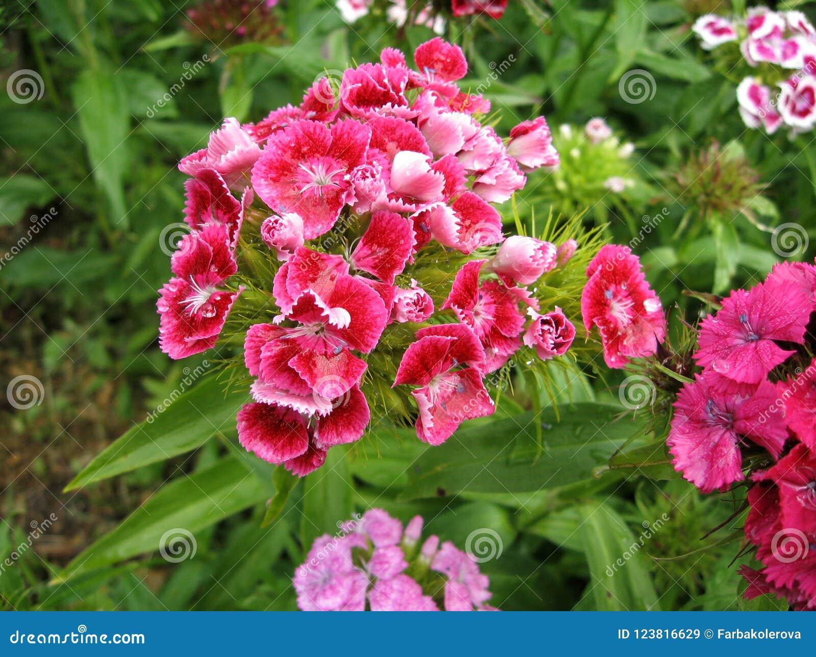 Blühen Sie die Gartennelke Türkischen, Dianthus barbatus, einige blühende türkische bunte Gartennelken auf dem unscharfen Hinterg