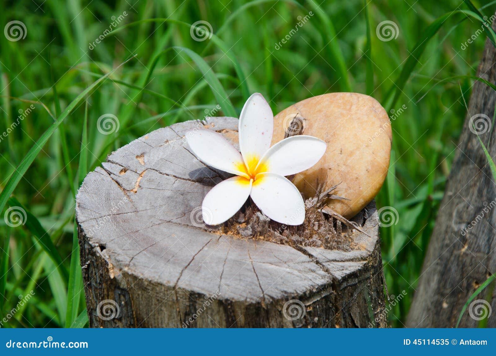 bl hen sie plumeria oder frangipani mit stein auf baumstumpf stockfoto bild 45114535. Black Bedroom Furniture Sets. Home Design Ideas