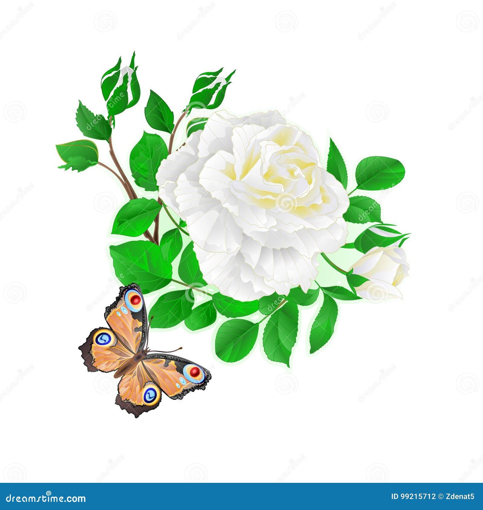 Blühen Sie Weißrose und Knospen und eine Hintergrundvektorillustration der Schmetterlingsweinlese festliche