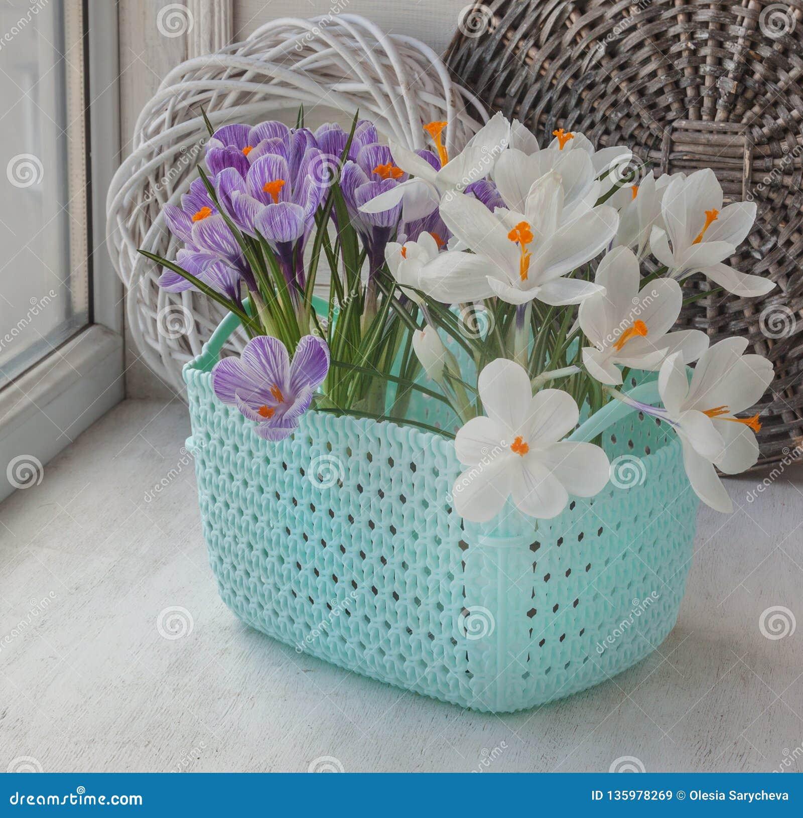Blühen weiße und gestreifte Krokusse auf dem Fenster