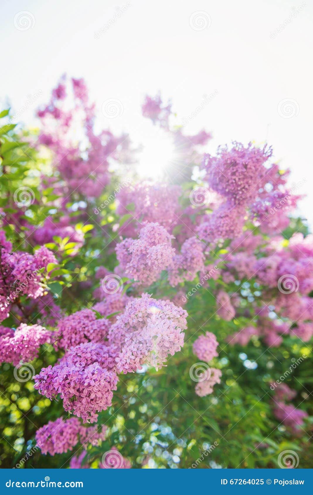 Bluhende Baumaste Mit Violetten Lila Blumen Fruhjahr Stockbild