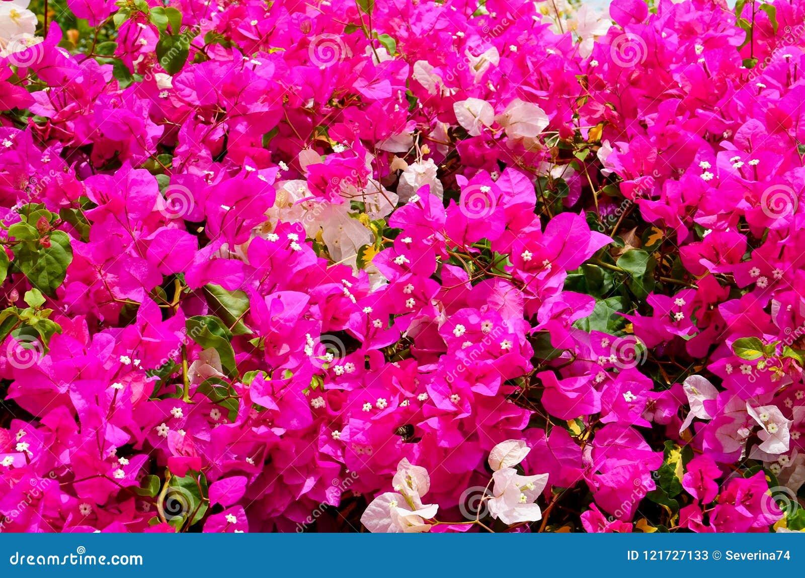 Blühende Bouganvillaanlagen mit schönen rosa und weißen Blumen als Blumenhintergrund Bougainwille ist eine Klasse des dornigen or