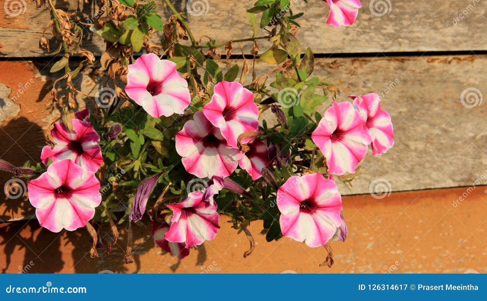Blühende bunte Petunien auf hölzerner Wand