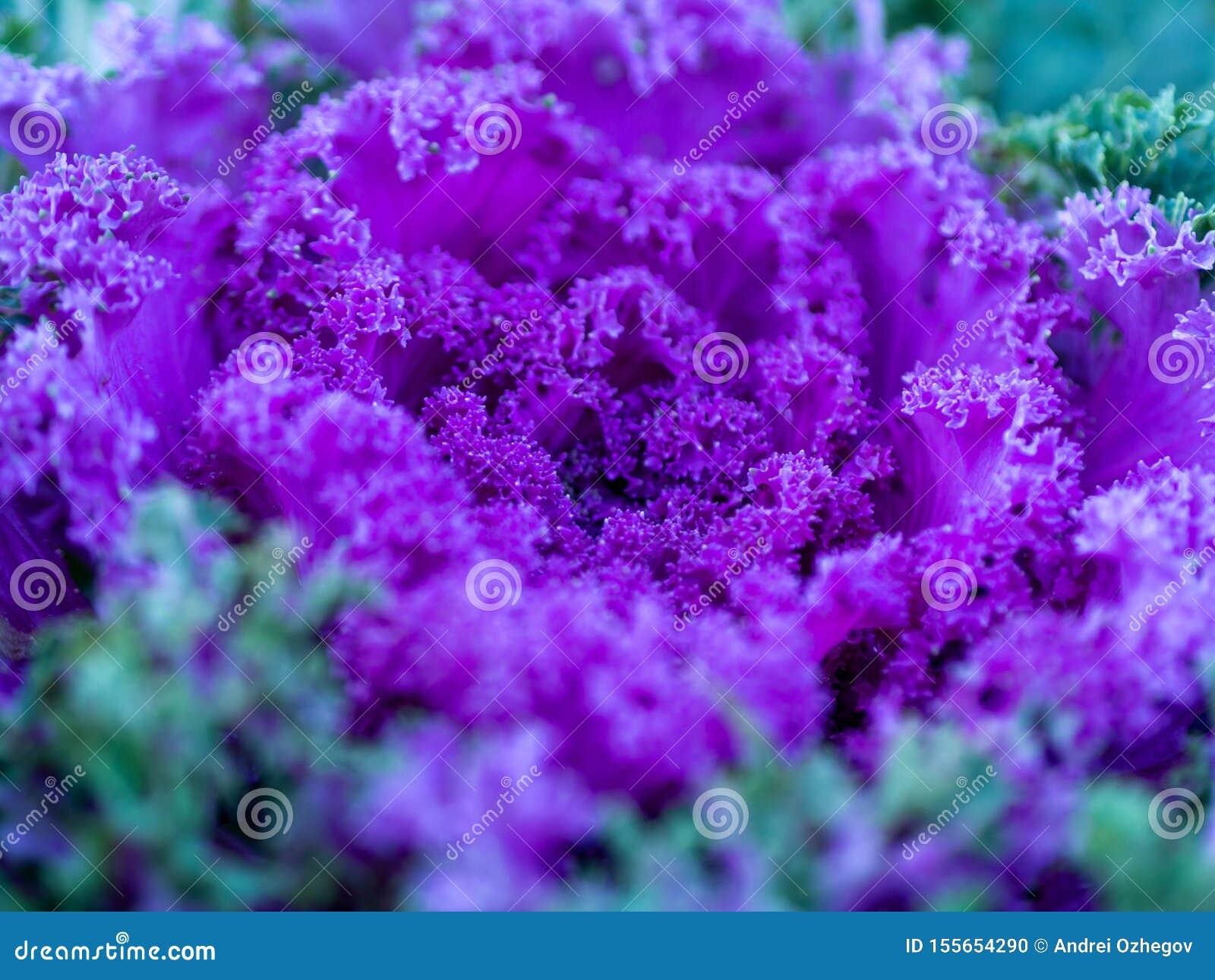 Blühende dekorative purpurrot-rosa Kohlanlage im Garten