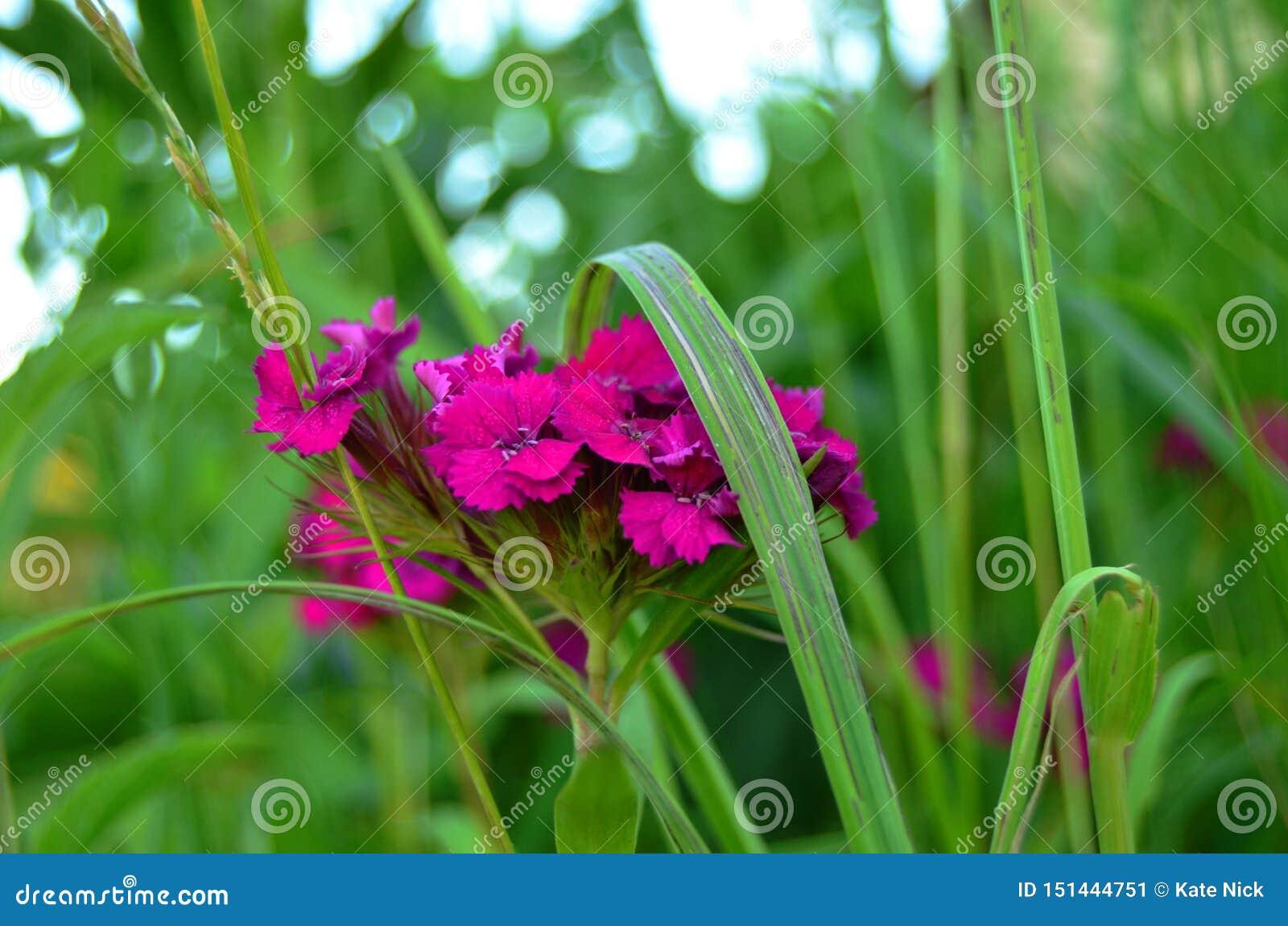 Blühende Gartennelke im hohen Gras